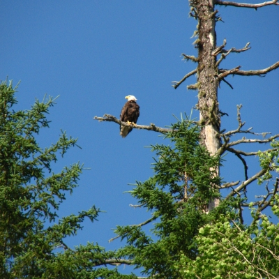Bald Eagle watching over the Restigouche (Arpin Canoe Restigouche)