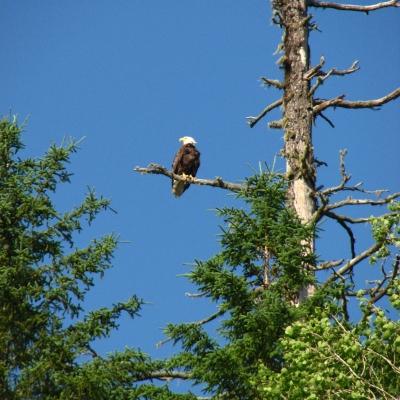 Bald Eagle watching over the Restigouche (Arpin Canoe Restigouche)